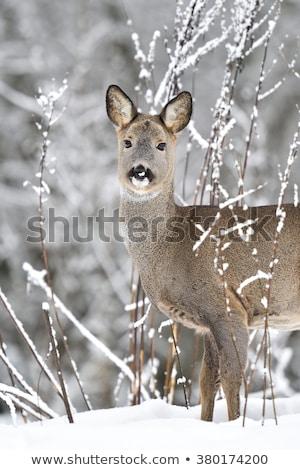 Roebuck (capreolus capreolus) in winter Stock photo © lightpoet