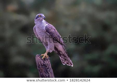 jovem · falcão · palheiro · animal · país · prado - foto stock © asturianu
