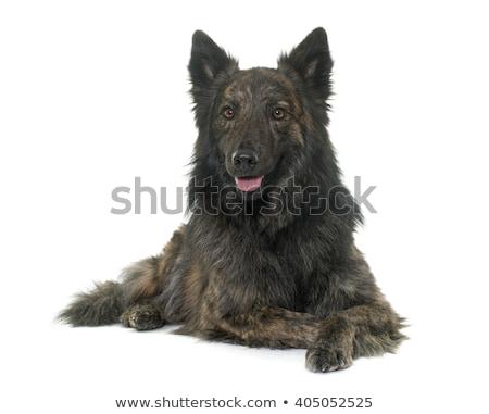 Hosszú hajú holland juhász kutya ül izolált Stock fotó © eriklam