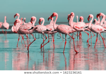 The group of flamingos walking in the lake.  Stock photo © frank11