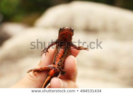 Fire Belly Newt Stock photo © macropixel