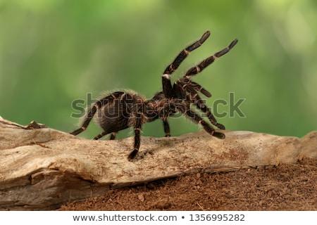 hatalmas · pók · nagy · mérgező · test · kert - stock fotó © mojojojofoto