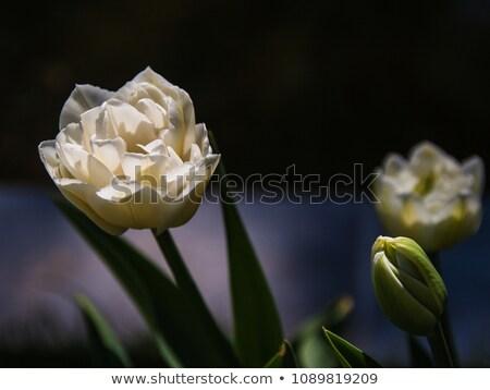Fehér dupla tulipán ágy piros szépség Stock fotó © Snapshot