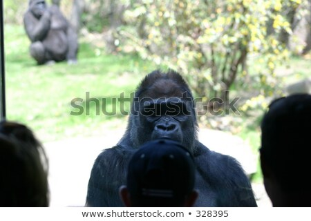 jovem · montanha · gorila · retrato · parque · Ruanda - foto stock © mariephoto