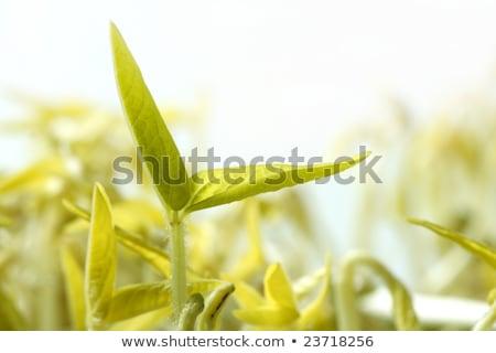 Szója bab élet növekvő mag szójaszósz Stock fotó © lunamarina