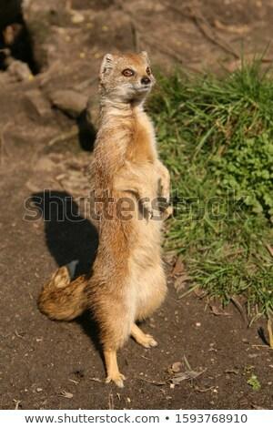 yellow mongoose stock photo © dirkr