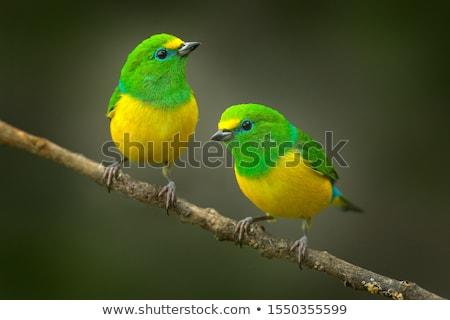 Iki kuşlar şarkı söyleme kuş şube üzücü Stok fotoğraf © MKucova
