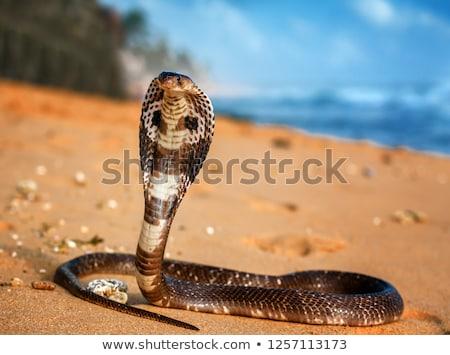 króla · kobra · wektora · projektu · malarstwo · węża - zdjęcia stock © hunterx