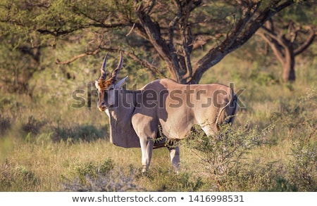 eland with green grass isolated Stock photo © anan