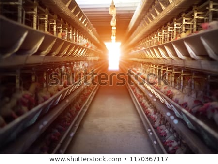 Rooster and hens in the house poultry Stock photo © lunamarina