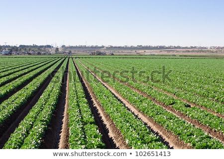 öntözés saláta mezők locsol farm mező Stock fotó © franky242