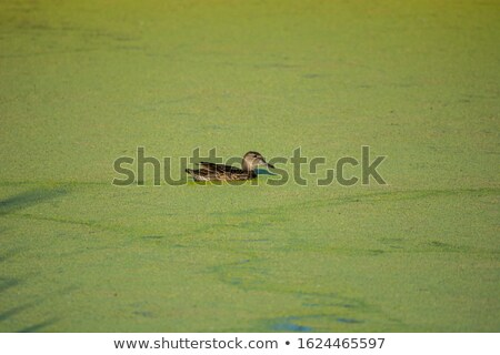 Stock photo: Thick green weed and algae covering a pond