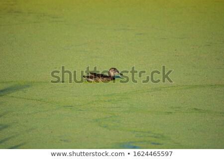 Verde erva daninha lagoa olhando como empresa Foto stock © sarahdoow