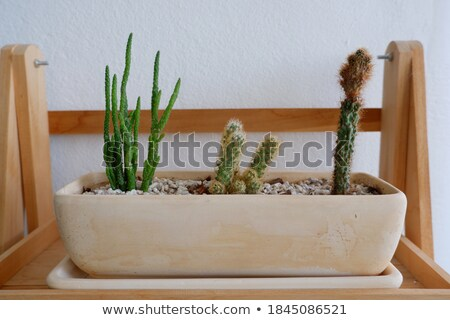 cactus plant pot decorated wooden table stock photo © nalinratphi