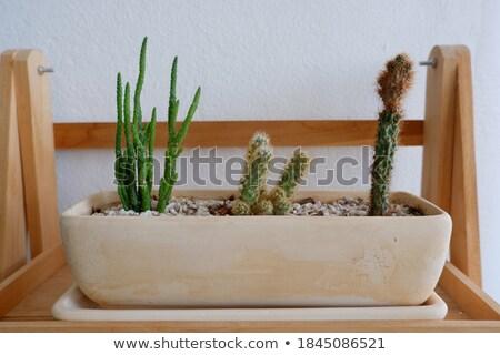 Cactus plant pot decorated wooden table Stock photo © nalinratphi