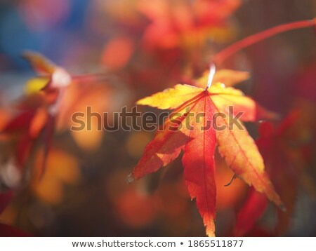 Akçaağaç yaprağı sığ odak kırmızı Japon akçaağaç Stok fotoğraf © aspenrock