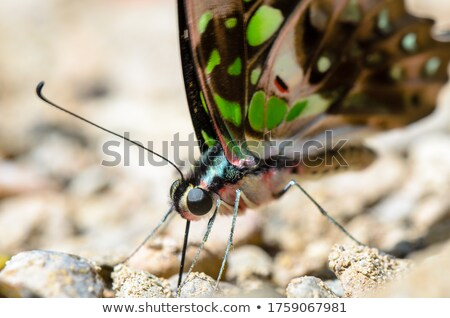 Close up Tailed Jay butterfly with have green spots on wings Stock photo © Yongkiet