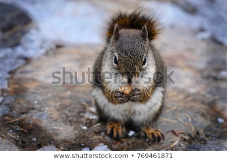 american red squirrel holding nut in hands and eating stock photo © miracky