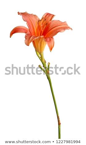 Gün zambak derin pembe çiçeklenme bitki Stok fotoğraf © smartin69