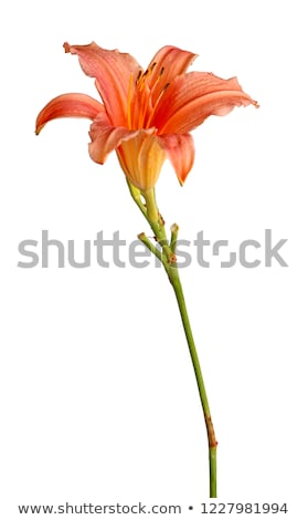 Hemerocallis (Day Lily) Stock photo © smartin69