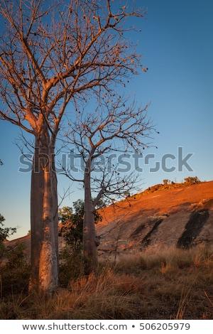 Boabab on Granite Rocks  Stock photo © JFJacobsz