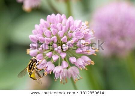 méh · fej · virág · kicsi · kúszás · fehér - stock fotó © prill