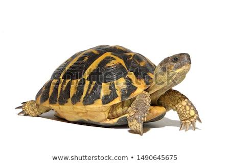 teknősbéka · egyiptomi · izolált · fehér · állat · séta - stock fotó © giko