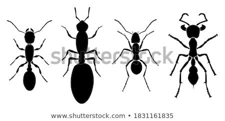 Set Ant worker Stock photo © orensila