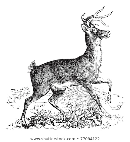 Whitetail or Virginia deer vintage engraving Stock photo © Morphart