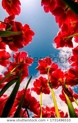 тюльпаны красный желтый цветок саду зеленый Сток-фото © DedMorozz