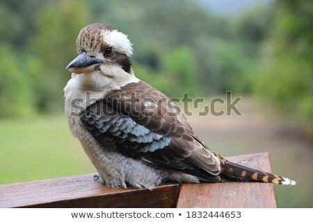 A kookaburra Stock photo © bluering