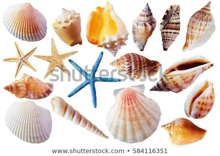 Marisco concha isolado eps10 branco praia Foto stock © LoopAll