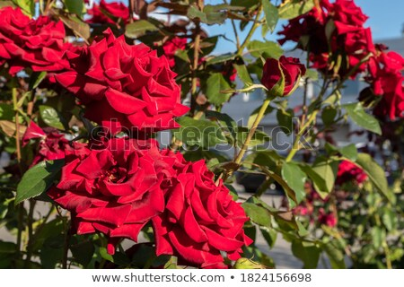 Three blooming flowers under the sunlight Stock photo © bluering
