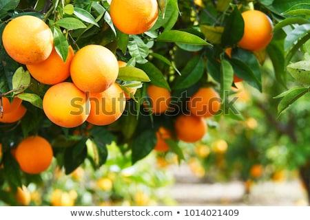 narancsfa · gyümölcs · virág · szelektív · fókusz · narancs · zöld - stock fotó © zhukow