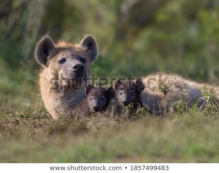 Zdjęcia stock: Zmęczony · hiena · psa · zwierząt · zoo · close-up