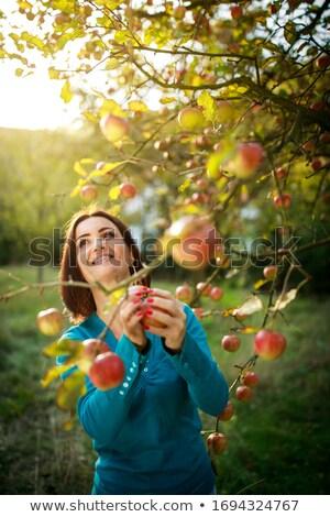 фермер · яблоки · органический · фрукты · Фермеры · рук - Сток-фото © jarenwicklund