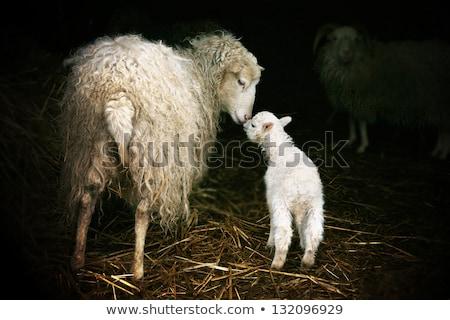 ребенка · ягненка · фермы · матери · овец - Сток-фото © keeweeboy
