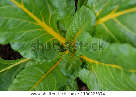 Lush chard plant with bright yellow stems Stock photo © sarahdoow