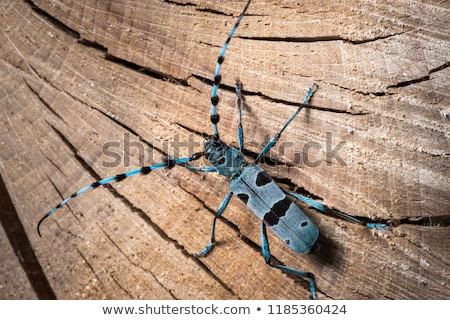 Longhorn beetle or longicorn Stock photo © vapi
