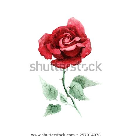 Stok fotoğraf: Suluboya · kırmızı · gül · yeşil · yaprakları · çiçekler · beyaz · çiçek