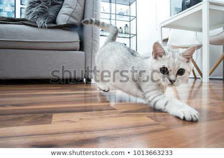 Cute black silver British Shorthair kitten on black Stock photo © CatchyImages