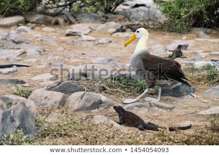 Galapagos albatross aka waved albatross walking by christmas iguana Stock photo © Maridav