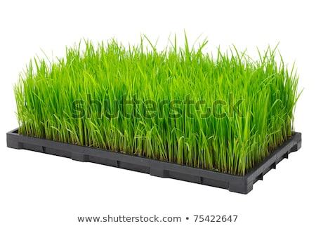 Jonge rijst spruit vak klaar groeiend Stockfoto © galitskaya