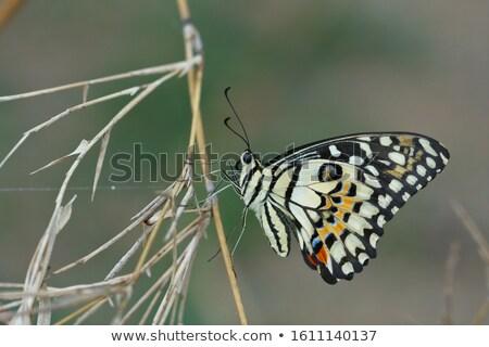 Citrus pillangó gyönyörű szárnyak fű szem Stock fotó © pazham