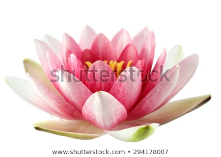 Stock photo: A blooming lotus flower  isolate