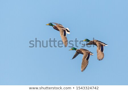 Three Ducks in flight Stock photo © bobkeenan