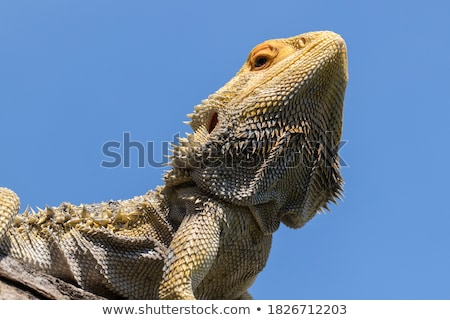 Barbu dragon portrait fond orange froid Photo stock © scooperdigital