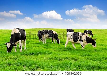 Foto stock: Vaca · grama · céu · sol · paisagem · campo