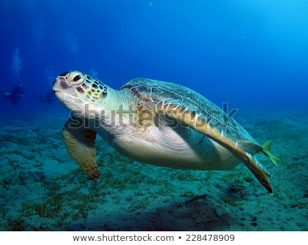Foto d'archivio: Green Turtle Chelonia Mydas In The Red Sea
