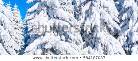 pinho · árvores · pesado · neve · madeira · natureza - foto stock © jaymudaliar